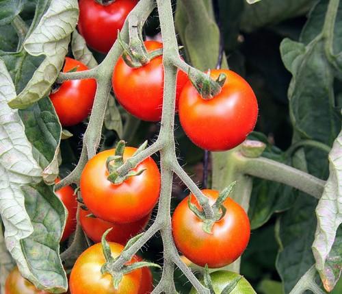 Tomate délices du jardinier